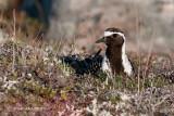 American Golden Plover (on nest)