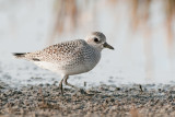 Black-bellied Plover (fall)