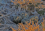 American Avocet eggs