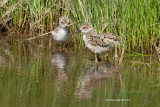 Black-necked Stilt, chicks