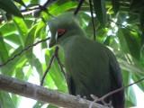 Green Turaco / Groene Turaco