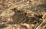 Four Banded Sandgrouse/ Vierbandzandhoen
