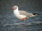 Grey-headed Gull/ Grijskopmeeuw