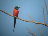 Northern Carmine Bee-eater /Karmijnrode Bijeneter