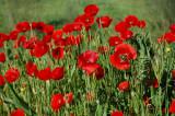 Valmuer - Poppies