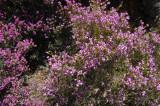 Lyngart  (Umbel-flowered heath)