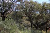 Barked oaks