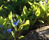 Vår-Kærminde - Omphalodes verna
