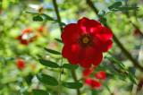 Rosa moyesii - Mandarinrose