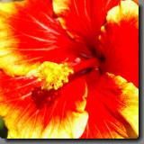 Volcano Hawaii  Hibiscus
