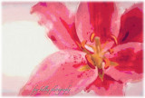 The Pink Lily