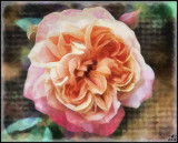 Heritage Rose: Lady of the Mist