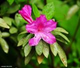pink Vireya