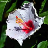gray hibiscus