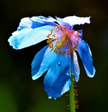 blue poppy 2011