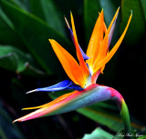 bird of paradise, Fairmont Orchid, Pauoa Bay, Hawaii