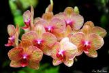 orchid, Hawai'i Tropical Botanical Garden, Hawaii