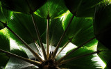 Alexander palm, Hawaii Tropical Botanical Garden, Hawaii