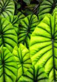 veins in plant, Hawaii Tropical Botanical Garden, Hawaii