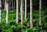 palms and ferns, Hawaii Tropical Botanical Garden, Hawaii