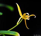 Yellow Orchid, Hawaii Tropical Botanical Garden, Hawaii