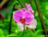 Orchid, Hawaii Tropical Botanical Garden, Hawaii