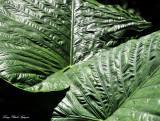 Big Green Leaves, Hawaii Tropical Botanical Garden, Hawaii