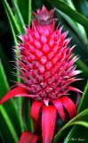 Bromeliad, Hawaii Tropical Botanical Garden, Hawaii