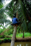 climbing down the coconut tree