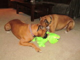 A new toy - a frog