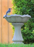 Blue Jay getting water