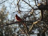Red Bird...LOL
