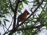 Bad Ass Mohawk on this Cardinal