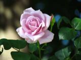 Pretty Lilac Roses