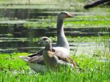 Goose Goose