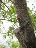The Neighborhood Woodpecker