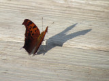 Butterfly casting shadow