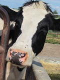 Amish Milking Cow