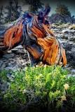 Visit ...Ancient Bristlecone Pine Forest