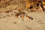 milk snake_6845.jpg