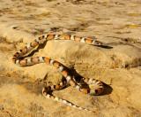 Milk Snake_6862.jpg