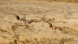 milk snake_6923.jpg