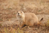 black-tailed prairie dog_6447.jpg