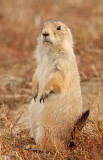 BT prairie dog_6377.jpg