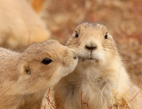 BT prairie dog_6389.jpg
