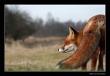 0255 fox