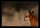 0268 fox
