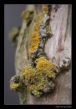 1197  common orange lichen