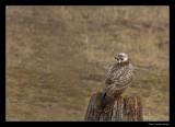 5350 buzzard