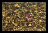 9539 swimming frog